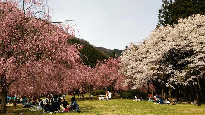 福井 竹田のしだれ桜まつり