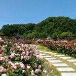 花フェスタ記念公園はちょうどバラの見頃、だけどポピーの花もGOODでした!